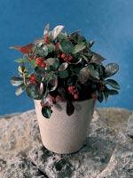 Vaktelbär, Gaultheria procumbens
