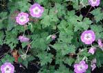 Geranium wallichianum 'Buxton's Blue'