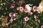 Geranium cinereum 'Ballerina'