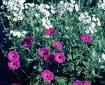 Geranium cinereum, jordnäva