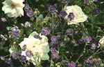 Geranium pratense, ängsnäva