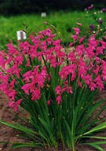 Gladiolus imbricatus, rysk sabellilja