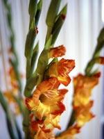 Gladiol, Gladiolus x hortulanus