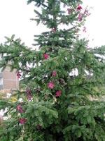 Clematis 'Carmensita' som klättrar i Picea omorika.