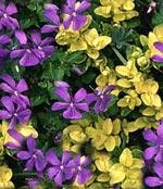 Buxus 'Aureavariegata' + Viola cornuta på våren