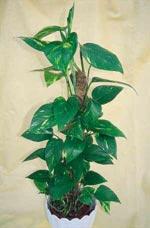 Epipremnum pinnatum, gullranka