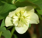 Helleborus x hybridus 'Anemone Form Yellow'