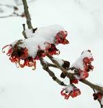 Det finns redan blommor i Trädgårdsföreningen! Hamamelis japonica 'Dianne'.