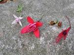 Härdiga F magellanica alba, F m riccartonii, F procumbens, F m gracilis