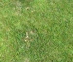 Häxringar är ett gissel i gräsmattor. Här finns nejlikbroskskivlingen som fruktkroppar.