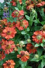 Helenium hybridum 'Indian Summer'