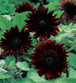 Solros Helianthus annuus 'Black Magic'