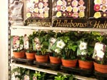 Helleborus-plantor