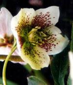 Helleborus orientalis-hybrid