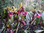 Helleborus orientalis ssp abchasicus