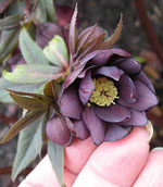 Helleborus orientalis 'Black Party Dress'