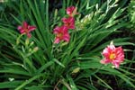 Hemerocallis 'Little Wine Cup'