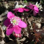Hepatica nobilis 'Kinnekulle Queen'