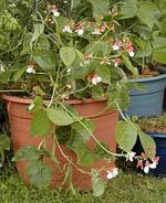 Vackra blomsterbönan Hestia