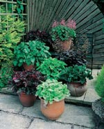 Heuchera 'Emperors New Clothes'