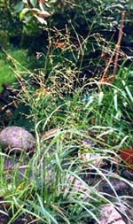En sorts hirs, Panicum virgatum 'Rotstrahlbusch', flerårigt gräs.