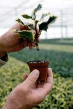 Järnek, Ilex aquifolium