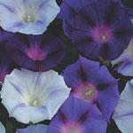 Ipomoea purpurea 'Hazelwood Blues', blomman för dagen