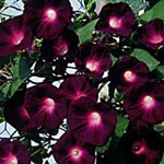 Ipomoea tricolor 'Black Beauty'