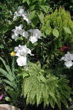 Iris 'Song of Norway' med en gulbarrig liten cypress som bakgrund och frilandsadiantum, Adiantum pedatum runt
