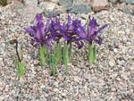 Iris magnifica