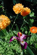Blå iris med färgfläckar i samma orange färg som den dubbla engelska vallmon.