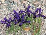Iris reticulata 'Violet Beauty'