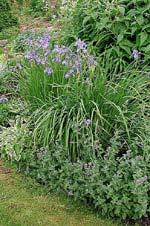 Iris sibirica 'Perry's Blue' och Nepata faassenii 'Six-Hill's Giant'