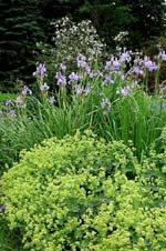Iris sibirica 'Perry's Blue' med jättedaggkåpan, Alchemilla mollis.
