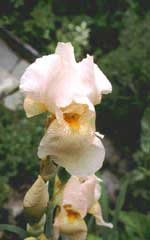 Iris germanica 'Constant Wattez'