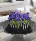 Iris i metallskål