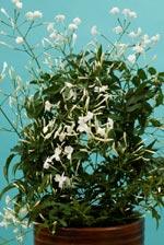 Vippjasmin (Jasminum polyanthum)