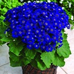 Cineraria, Jester Blue