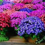 Cineraria, Jester Mix