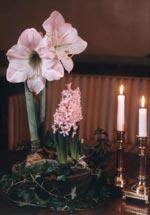 Amaryllis och hyacinter till julen är lika viktiga som gran, skinka och pepparkakor.