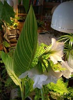 Kanna 'Pretoria' och vit amaryllis