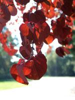 Katsura japonica, blad i höstfärg