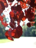 Katsura, blad i höstfärg
