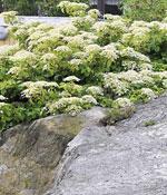 Klätterhortensia klättrar på bergväggen