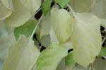 Hydrangea petiolaris, klätterhortensia