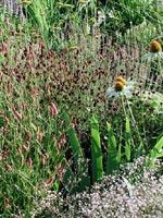 Sanguisorba officinalis 'Tanna' är den mörkt röda, den andra lite högre är troligen S. officinalis 'Pink Tanna' .