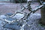 Korkalm, Ulmus carpinifolia var. suberosa