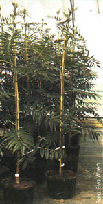 Krukade träd i plantskola