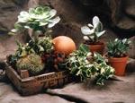 Skapa din egen ökenplantering här med trädtaklök, Mammillaria, Kalanchoe och varianter av Crassula.