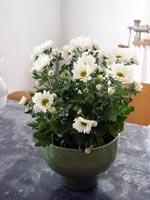 Krysantemum (Chrysantemum)